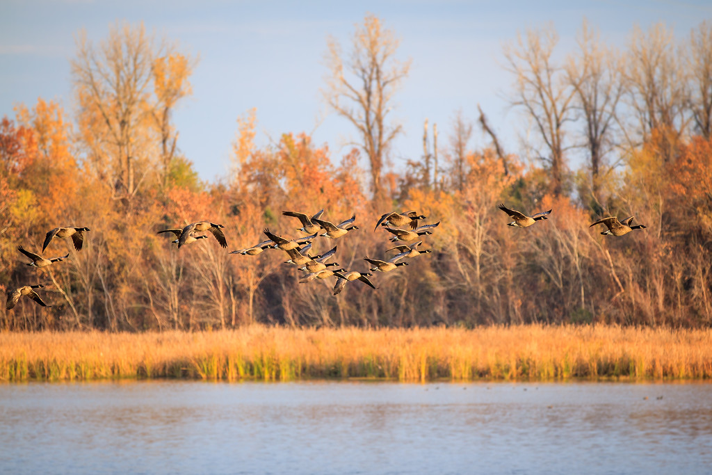 IMAGE: http://alfredomora.smugmug.com/Animals/Animal-World/i-9hWqJTN/0/XL/20121121-arkansas%20geese-002-proc-XL.jpg