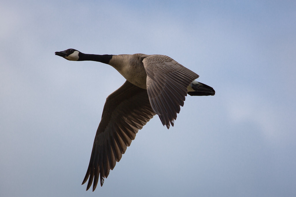 IMAGE: http://alfredomora.smugmug.com/Animals/Animal-World/i-DtqRhrv/0/XL/20120504-wild%20geese-001-proc-XL.jpg