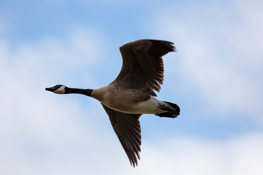 IMAGE: http://alfredomora.smugmug.com/Animals/Animal-World/i-pgJN9gR/0/XL/20120504-wild%20geese-002-proc-XL.jpg